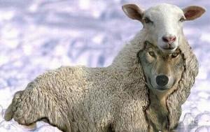 волк в овечей шкуре